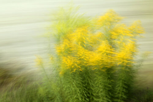 Photography with motion blur, blossoming golden rod, slightly blurred, in fromt of a light and very blurry background