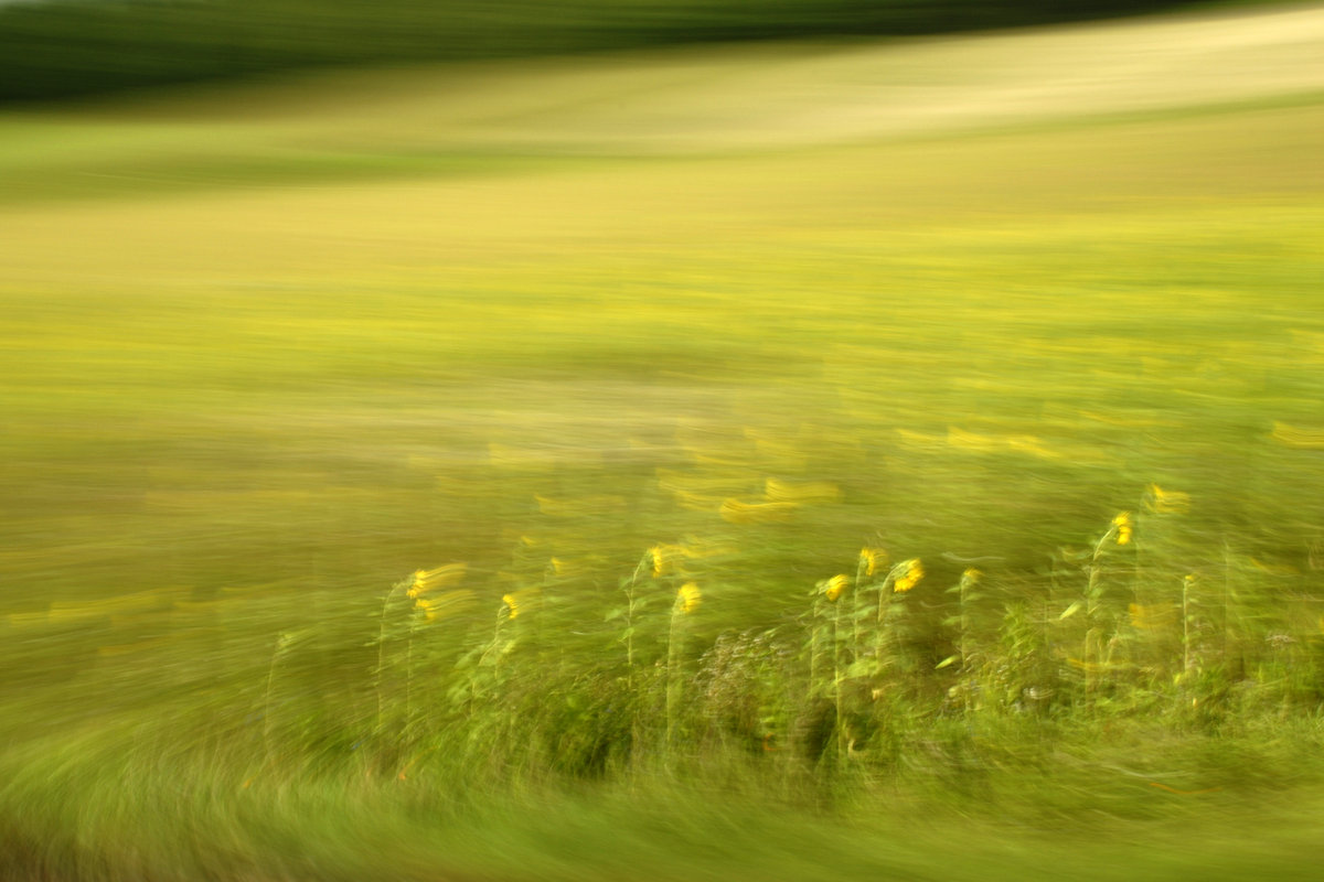 experimental photography, sunflowers in motion are visible in front of a very blurry background
