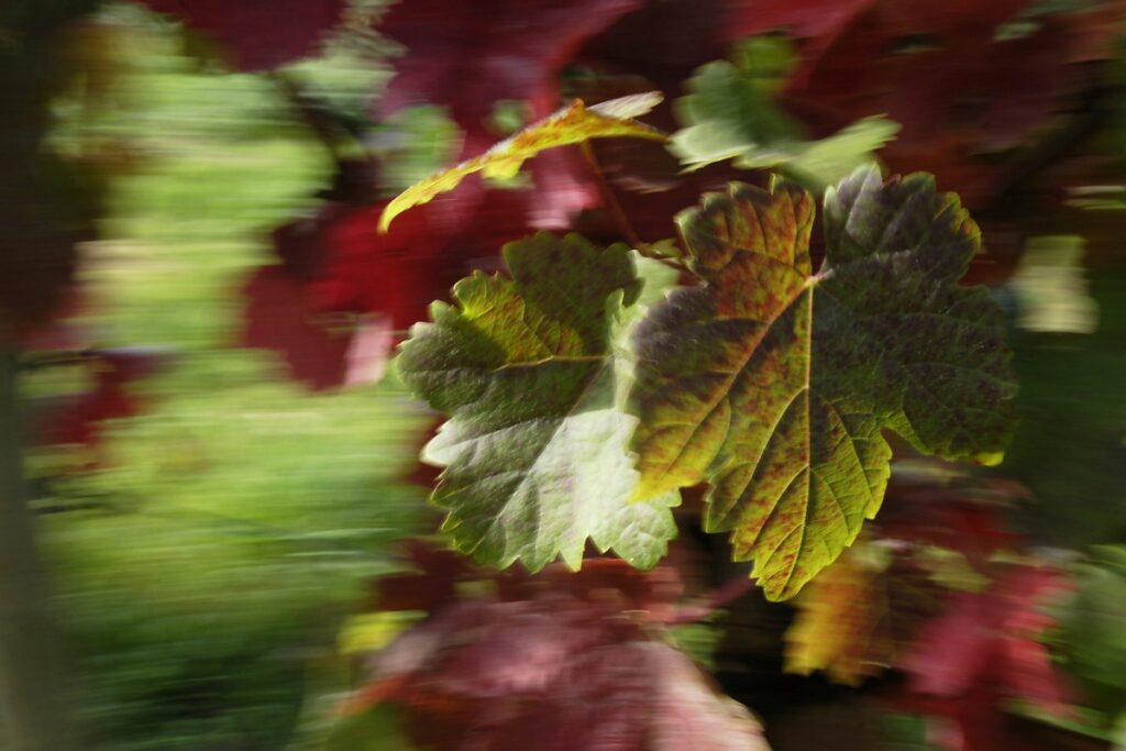 experimental photo art, a detailed picture of red and green wine leaves in front of a background with strong motion blur